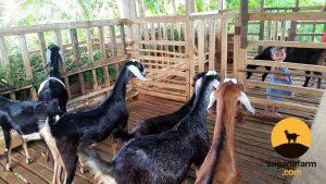 Purebred nubian goats at Sagana Farm Philippines