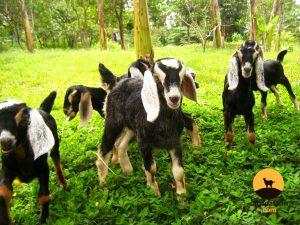 Nubian Goat Kids Philippines at Sagana Farm