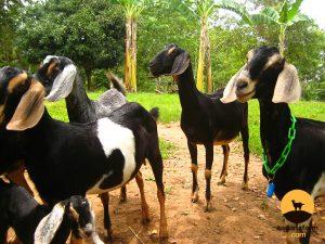 Philippine native goats Archives - Sagana Farm - Sagana Farm