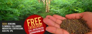 Indigofera seeds for sale