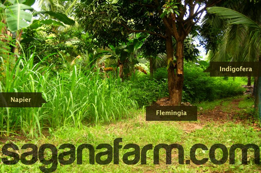 flemingia indigofera and napier