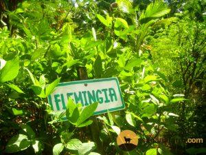 flemingia macrophylla shrub