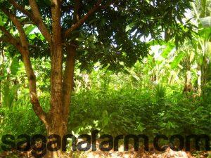 flemingia macrophylla under fruit trees