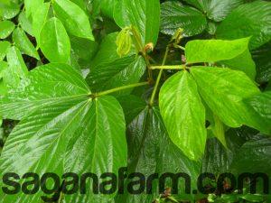 flemingia macrophylla leaves